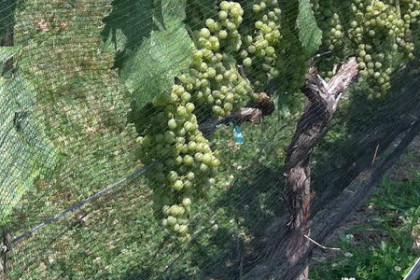 view of vines with green grapes