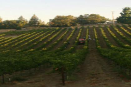 Picking of Merlot starts at sunrise at Iverson Vineyards