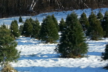 picture of snow covered hilltop with numerous evergreen trees all for sale. Bright sunny day