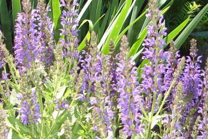 purple flowers on stalks, galvanized bucket in back ground