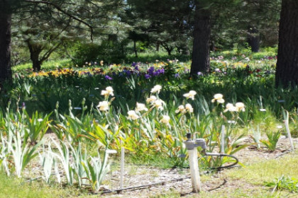 A large garden of multicolored Iris blooms