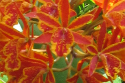 Beautiful orange and yellow cluster of Hawaiian orchids