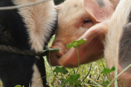 Two pig snouts together and one calf grazing on a pasture