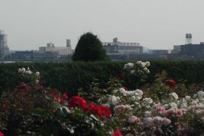 Duluth MN Rose Garden