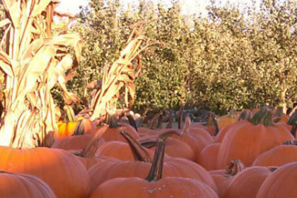 pumpkins and corn stalks in front of apple orchard