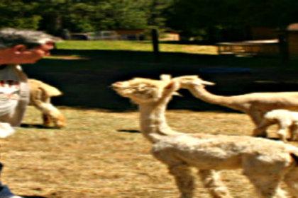 Daryl with Alpaca